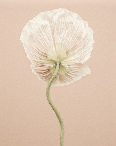 CF011 Icelandic Poppy IIII. Limited edition photographic print by Paul Coghlin
