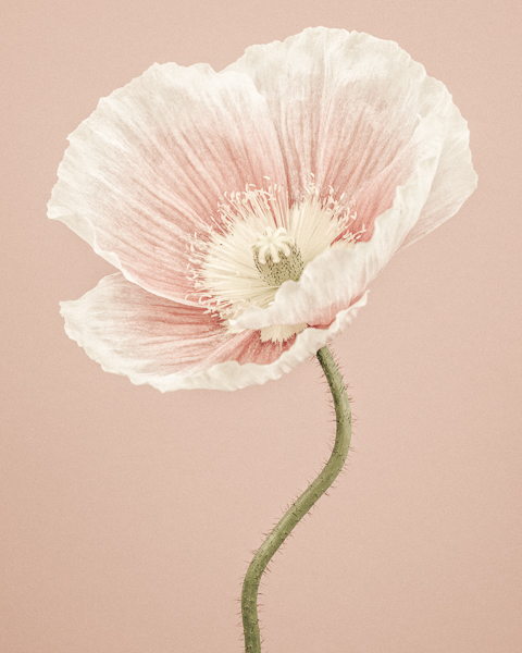 CF010 Icelandic Poppy II. Limited edition photographic print by Paul Coghlin