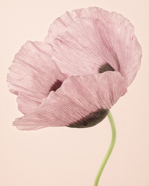 CF020 Opium Poppy I. Limited edition photographic print by Paul Coghlin
