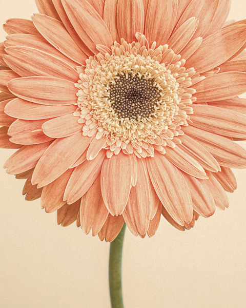 CF002 Gerbera I. Limited edition photographic print by Paul Coghlin