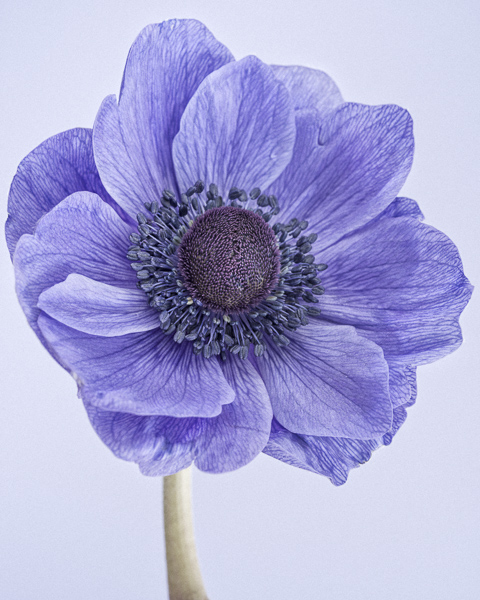 CF013 Poppy anemone I. Limited edition photographic print by Paul Coghlin