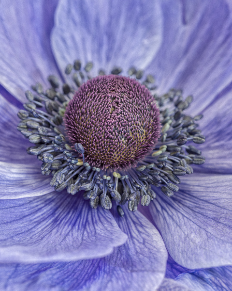 CF014 Poppy anemone II. Limited edition photographic print by Paul Coghlin