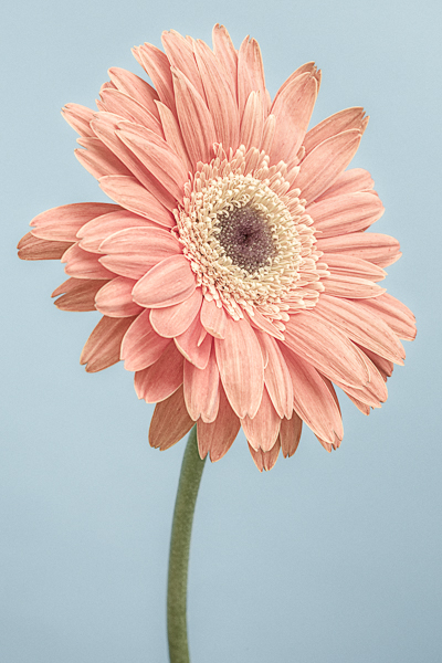 CF001 Gerbera On Blue. Limited edition photographic print by Paul Coghlin