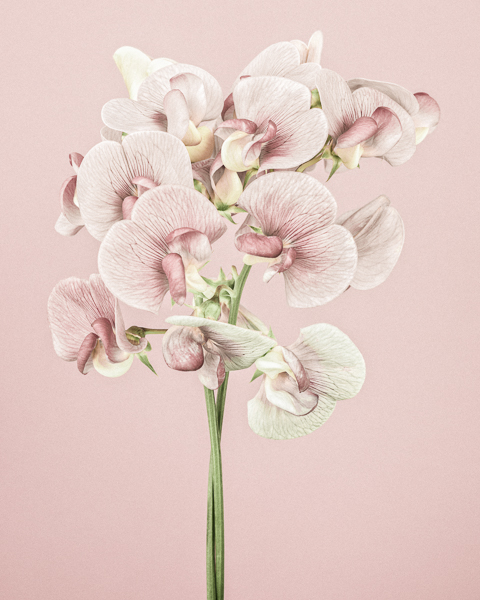 CF023 Sweetpeas I. Limited edition photographic print by Paul Coghlin