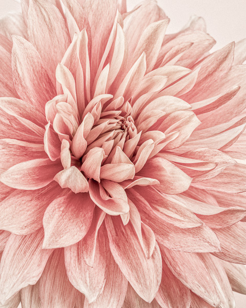 CF031 Dahlia Flames I. Limited edition photographic print by Paul Coghlin