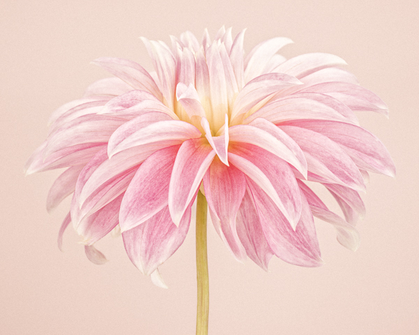 CF030 Pale Pink Dahlia III. Limited edition photographic print by Paul Coghlin