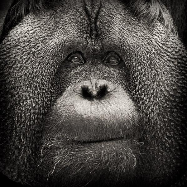 BTE_003 Regard. Photograph of a orangutan by fine art photographer Paul Coghlin