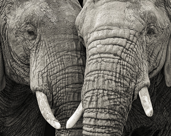 BTE2_001 Two Elephants. Photograph of two elephants by fine art photographer Paul Coghlin