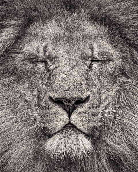 FFV_006 Peace - Portrait of an African Lion II by fine art photographer Paul Coghlin. Limited edition photographic prints.
