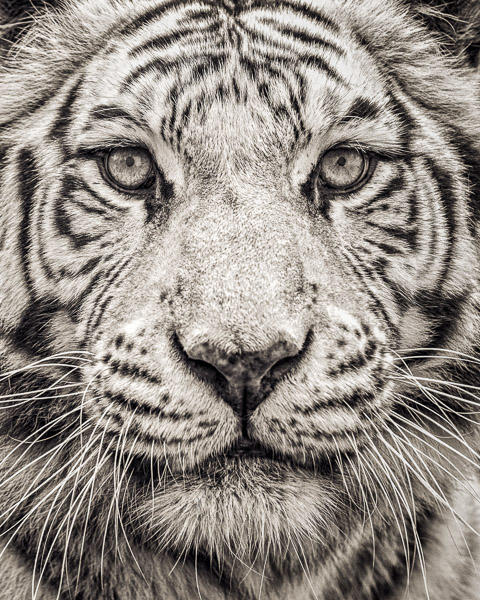 FFV_001 Portrait of White Bengal Tiger by fine art photographer Paul Coghlin. Limited edition photographic prints.