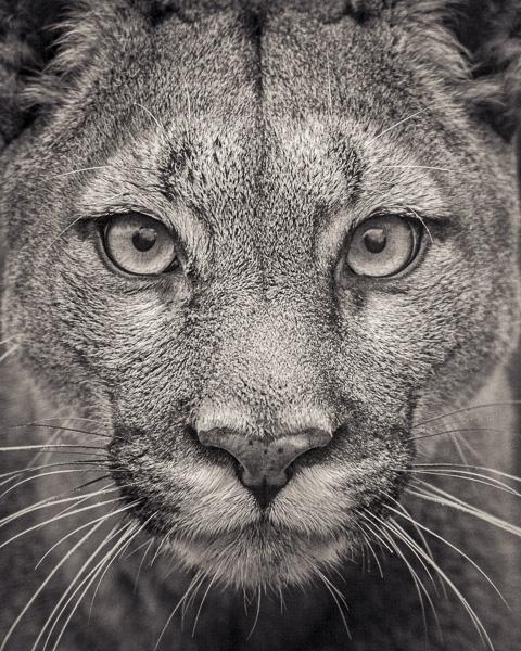 FFV_008 Portrait of Puma by fine art photographer Paul Coghlin. Limited edition photographic prints.
