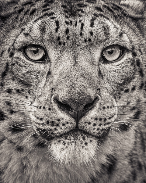 FFV_004 Portrait of Snow Leopard by fine art photographer Paul Coghlin. Limited edition photographic prints.