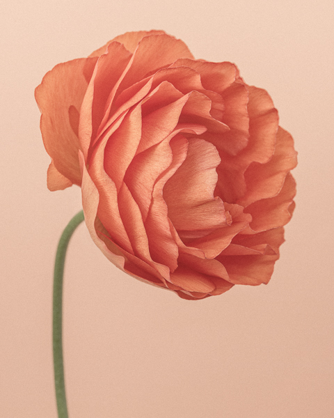 CF39 Orange Ranunculus I. Limited edition photographic print by Paul Coghlin