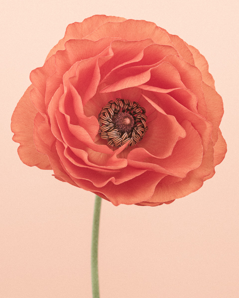 CF40 Orange Ranunculus II. Limited edition photographic print by Paul Coghlin