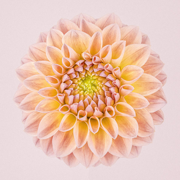 CF51 Pink and Yellow Dahlia Circle I. Limited edition photographic print by Paul Coghlin
