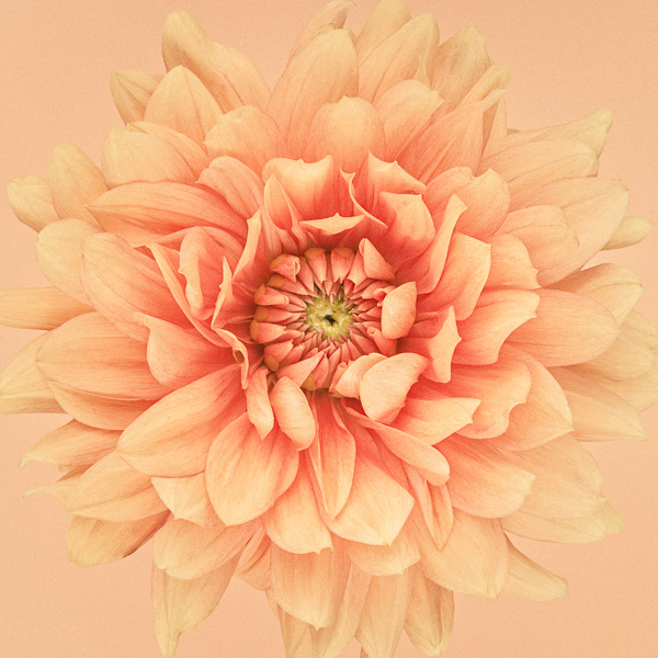 CF55 Orange Dahlia Flames II. Limited edition photographic print by Paul Coghlin