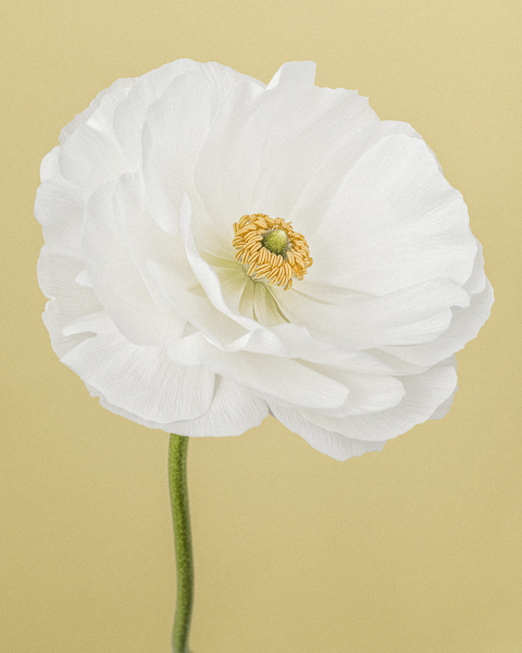 CF44 White Ranunculus I. Limited edition photographic print by Paul Coghlin