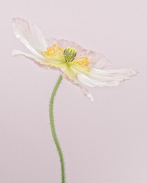 CF34 Pale Pink Icelandic Poppy I. Limited edition photographic print by Paul Coghlin