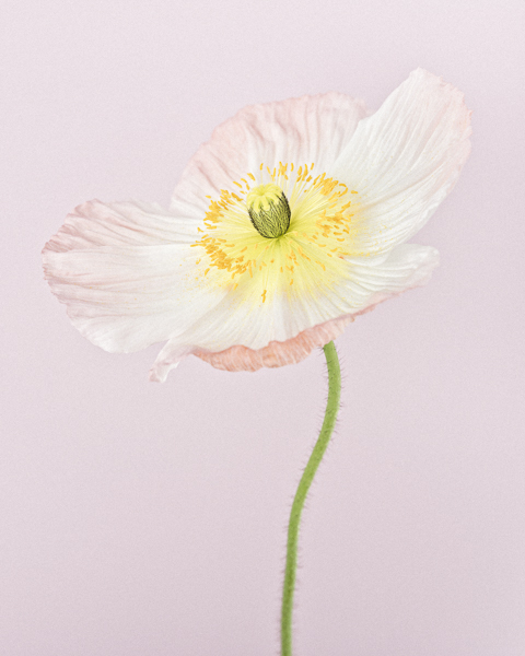CF35 Pale Pink Icelandic Poppy II. Limited edition photographic print by Paul Coghlin