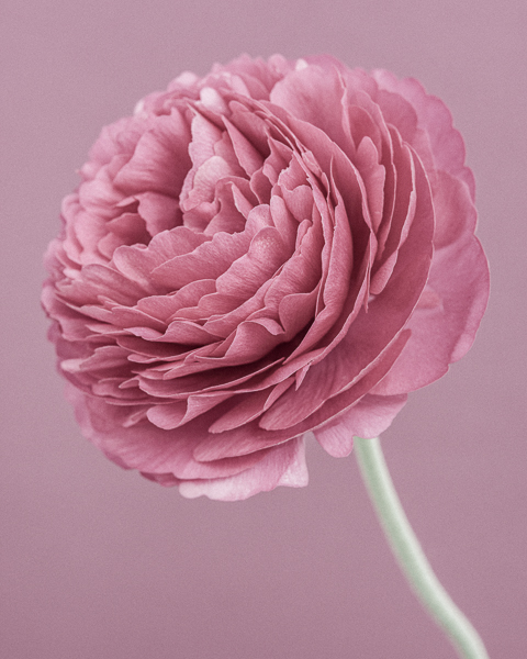 CF38 Pink Ranunculus V. Limited edition photographic print by Paul Coghlin