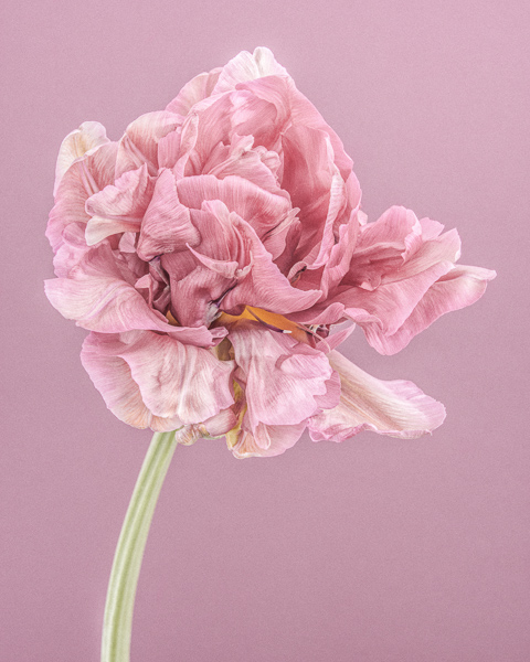 CF37 Pink Parrot Tulip I. Limited edition photographic print by Paul Coghlin