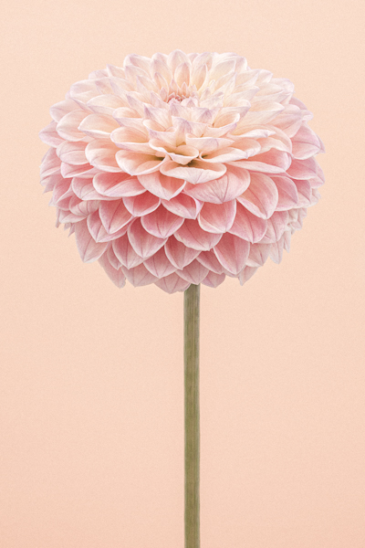 CF49, Tall Pink Dahlia I. Limited edition photographic print by Paul Coghlin