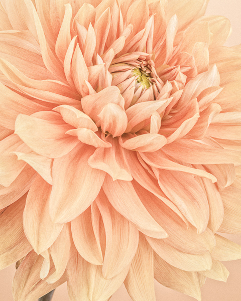 CF46, Orange Dahlia Flames I. Limited edition photographic print by Paul Coghlin