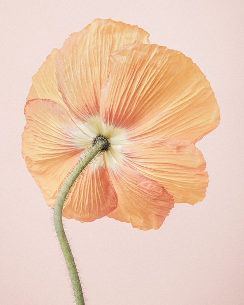 CF33 Orange Icelandic Poppy I. Limited edition photographic print by Paul Coghlin
