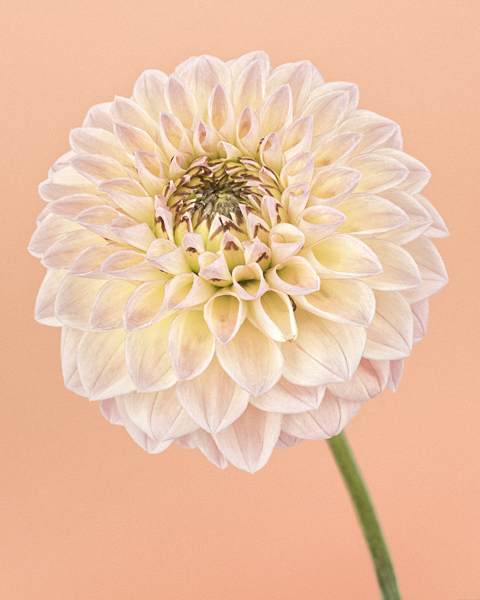 CF47 Pink and Yellow Dahlia I.  Limited edition photographic print by Paul Coghlin