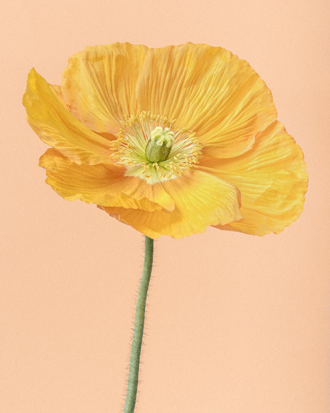 CF62 Yellow Icelandic Poppy I. Limited edition photographic print by Paul Coghlin
