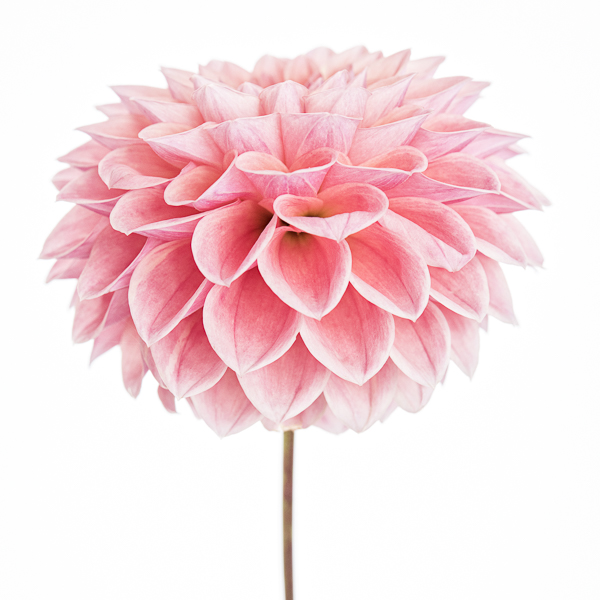 BLM_003 Dahlia 'Peach Cupid' II. Limited edition photographic print by Paul Coghlin