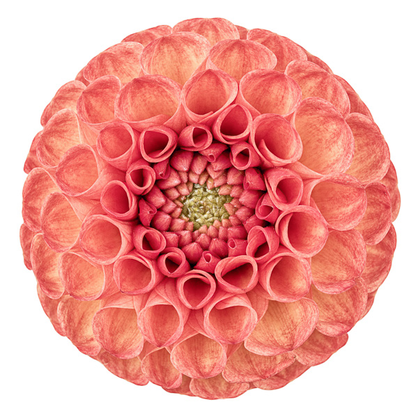 BLM_005 Dahlia 'Ginger Willo' II. Limited edition photographic print by Paul Coghlin