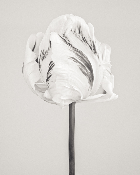 BTNC_001 Tulipa 'Madonna' I. Limited edition photographic print by Paul Coghlin