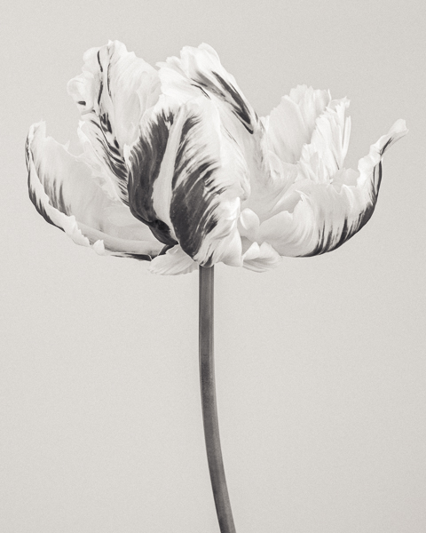 BTNC_003 Tulipa 'Madonna' III. Limited edition photographic print by Paul Coghlin