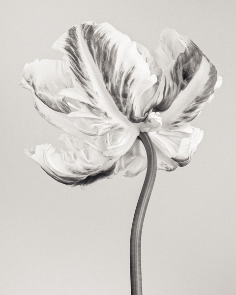 BTNC_004 Tulipa 'Madonna' IV. Limited edition photographic print by Paul Coghlin