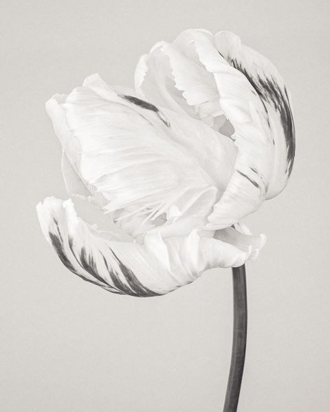 BTNC_006 Tulipa 'Madonna' VI. Limited edition photographic print by Paul Coghlin