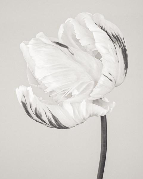BTNC_006 Tulipa 'Madonna' VI. Limited edition photographic print by Paul Coghlin