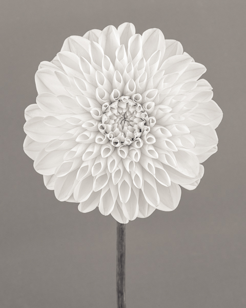 BTNC_013 Dahlia 'White Aster' I. Limited edition photographic print by Paul Coghlin