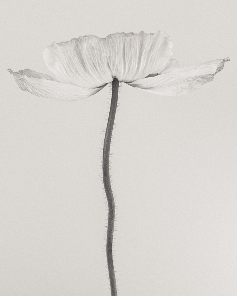 BTNC_015 Papaver nudicaule (Icelandic Poppy) II. Limited edition photographic print by Paul Coghlin