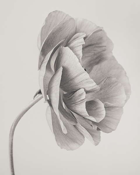 BTNC_016 Ranunculus asiaticus (Persian Buttercup) I. Limited edition photographic print by Paul Coghlin