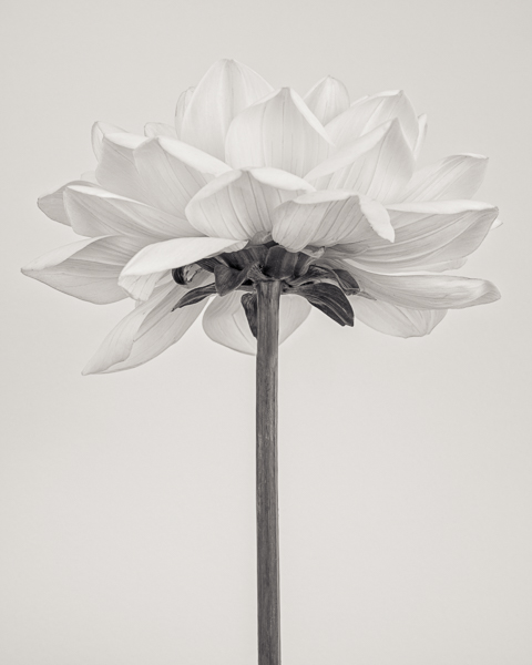 BTNC_021 Dahlia 'Sun Lady' I. Limited edition photographic print by Paul Coghlin
