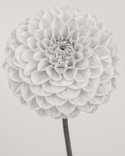 BTNC_022 Dahlia 'Peach Cupid' I. Limited edition photographic print by Paul Coghlin