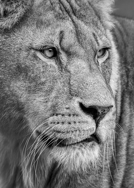 BTE3_025 Lioness Watching. Portrait of a Lion by fine art photographer Paul Coghlin. Limited edition photographic prints.