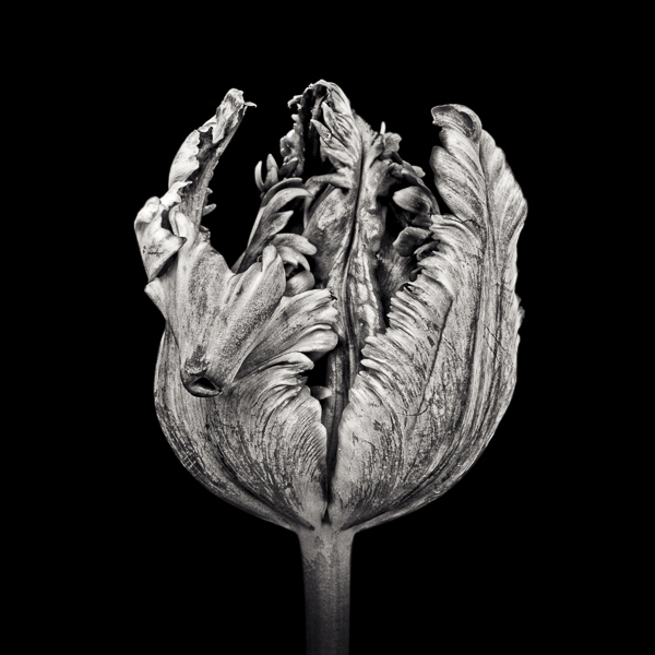 PTL007 Black Parrot Tulip II. Limited edition photographic print by Paul Coghlin