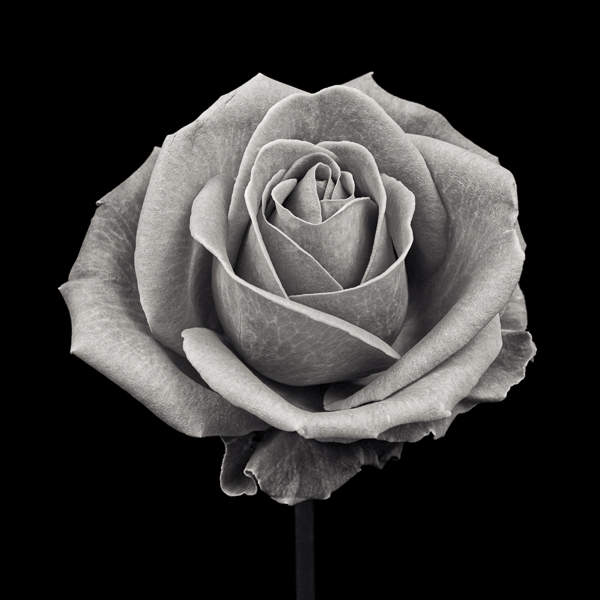 PTL011 Pink Rose, Aqua, Study VII. Limited edition photographic print by Paul Coghlin