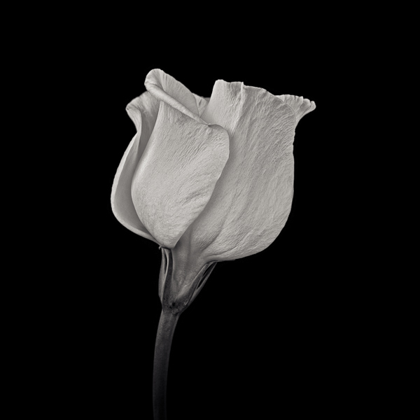 PTL015 White Campanula I. Limited edition photographic print by Paul Coghlin