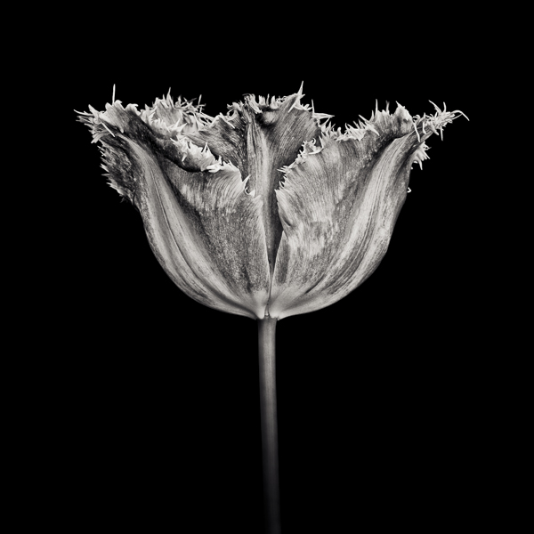 PTL022 Tulip, Fancy Frills. Limited edition photographic print by Paul Coghlin