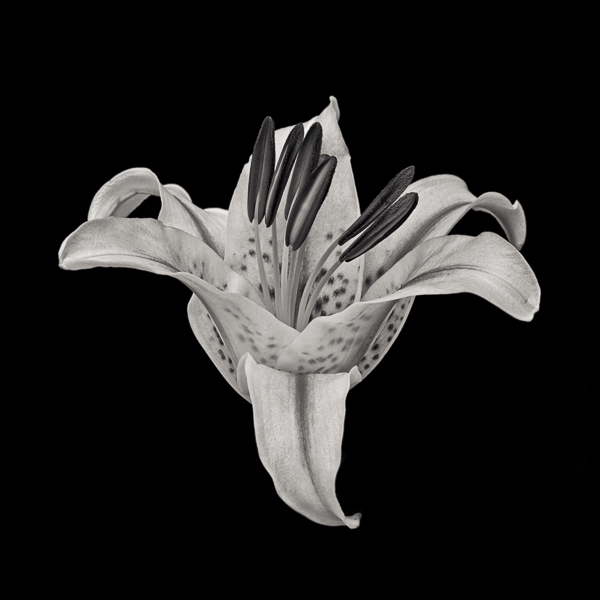 PTL020 Stargazer Lily. Limited edition photographic print by Paul Coghlin