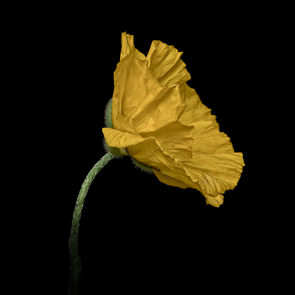 CPTL001 Yellow Field Poppy (colour). Fine art floral print of a yellow poppy on a black background. © Paul Coghlin.