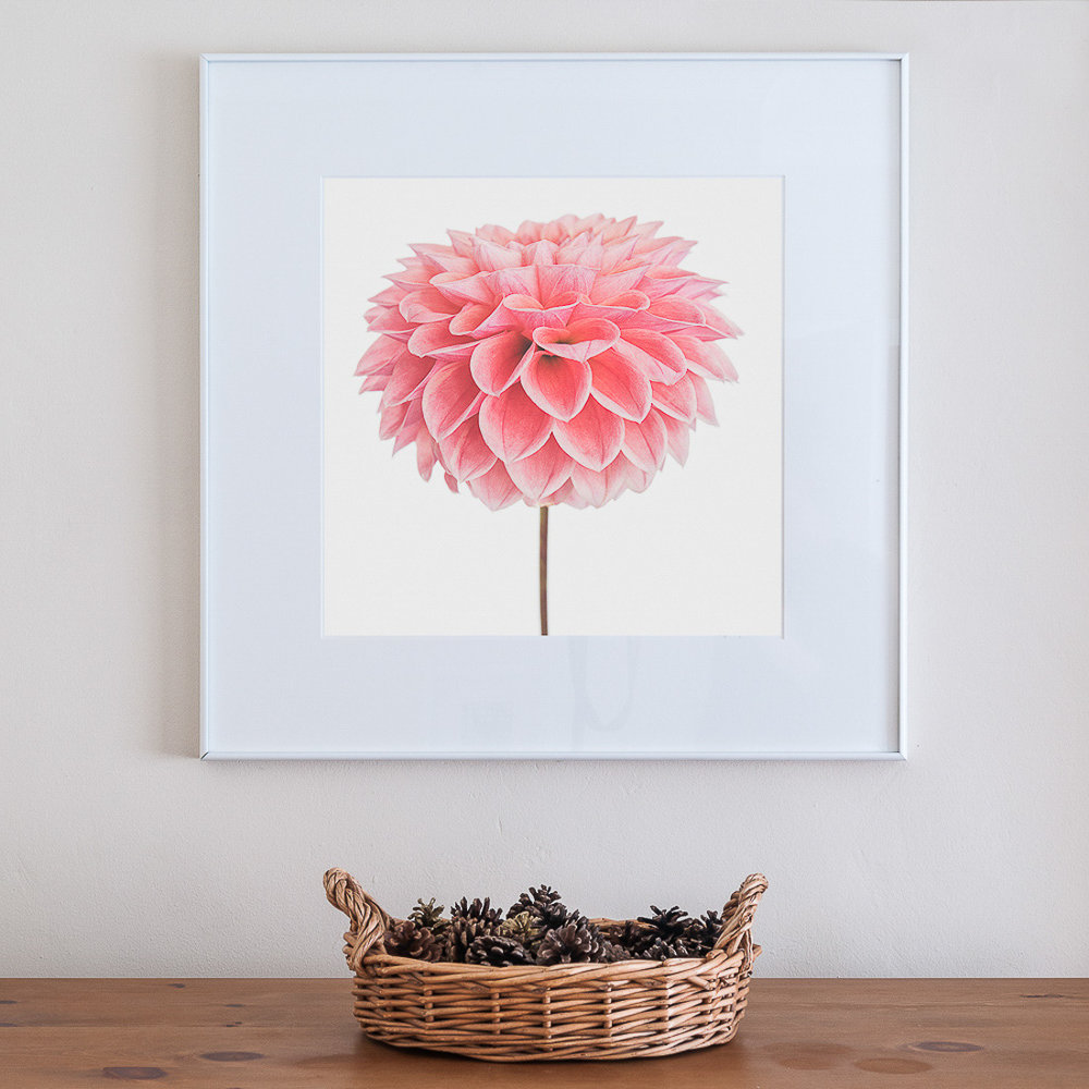 1100px Paul Coghlin Fine Art Photography Pink Dahlia.jpg